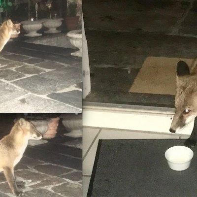 Metti una sera una volpe in giardino. che poi ti entra in casa e